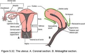 Uterus & vagina